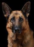 niemiecka shepherd portret obraz stock