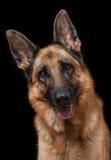 niemiecka shepherd portret Zdjęcie Stock