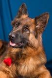 niemiecka shepherd portret niebieska tła obrazy royalty free
