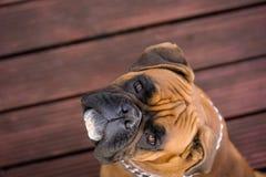 Niemiecki bokser Zdjęcie Royalty Free
