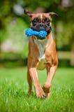 Niemiecki boksera psa bieg z zabawką zdjęcia royalty free
