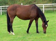 Niemiecki koń Zdjęcia Stock