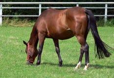 Niemiecki koń Obraz Royalty Free