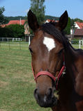 Niemiecki koń Fotografia Royalty Free
