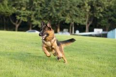 Niemiecki Pasterski pies obraz stock