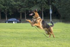 Niemiecki Pasterski pies zdjęcia stock
