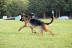 Niemiecki Pasterski pies zdjęcie stock