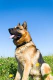 Niemiecki Pasterski pies Zdjęcie Royalty Free