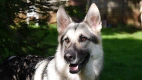 Niemiecki Pasterski pies obrazy royalty free