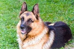 Niemiecki Pasterski pies Obrazy Stock