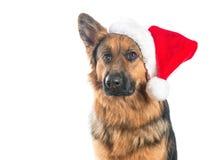 Niemiecki pasterski pies jest ubranym Santa kapelusz Fotografia Royalty Free