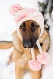 Niemiecki pasterski pies jest ubranym zima kapelusz Fotografia Stock