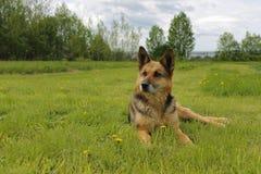 Niemiecki pasterski pies kłama na zielonej trawie Zdjęcia Royalty Free