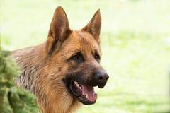 Niemiecki Pasterski pies na lesie Zdjęcie Royalty Free