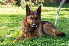 Niemiecki Pasterski pies na lesie Fotografia Stock