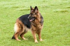 Niemiecki Pasterski pies na zielonej trawie Fotografia Stock