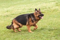 Niemiecki Pasterski pies na zielonej trawie Zdjęcia Stock