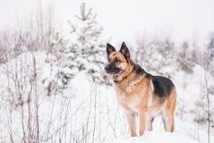 Niemiecki Pasterski pies przy zimą Obrazy Stock