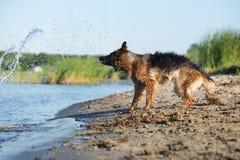 Niemiecki pasterski pies trząść z wody Fotografia Royalty Free