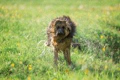 Niemiecki pasterski pies trząść z wody Obrazy Stock