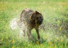 Niemiecki pasterski pies trząść z wody Fotografia Stock