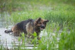 Niemiecki pasterski pies trząść z wody w jeziorze Obraz Stock