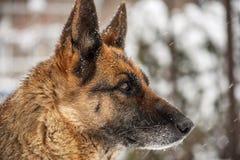 Niemiecki Pasterski pies w śniegu Zdjęcia Royalty Free