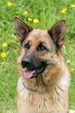 Niemiecki Pasterski pies w ogródzie Obrazy Royalty Free