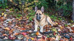 Niemiecki Pasterski pies w spadków liściach Fotografia Royalty Free