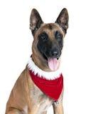 Niemiecki Pasterski pies z Wakacyjnym szalikiem Obrazy Stock