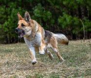 Niemiecki Pasterskiego psa bieg przez łąki Zdjęcie Royalty Free