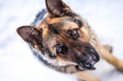Niemiecki pasterskiego psa mrozowy smutny spojrzenie Obraz Royalty Free
