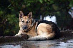 Niemiecki pasterskiego psa obsiadanie na podłoga obraz royalty free