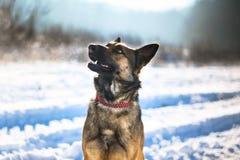 Niemiecki pasterskiego psa obsiadanie w śniegu Obraz Royalty Free