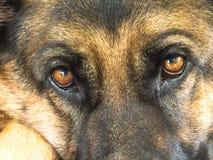 Niemiecki Pasterskiego psa oczu Zamknięty Up Zdjęcia Stock