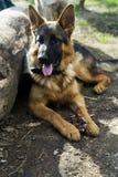 Niemiecki Pasterskiego psa odpoczywać Obrazy Royalty Free