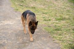 Niemiecki pasterskiego psa odprowadzenie przy parkiem fotografia royalty free