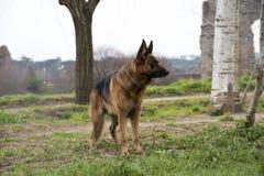 Niemiecki pasterskiego psa odprowadzenie przy parkiem obraz royalty free