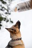 Niemiecki Pasterskiego psa szkolenie Fotografia Royalty Free