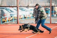 Niemiecki pasterskiego psa szkolenie w Gomel regionalności Fotografia Royalty Free
