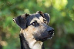 Niemiecki Pasterskiego psa zbliżenie Outdoors Przewodzi i Stawia czoło Zdjęcie Stock