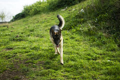 Niemiecki shepard pies w parku Fotografia Royalty Free