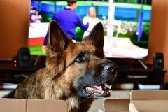 Niemiecki shepard pies w pokoju obraz stock