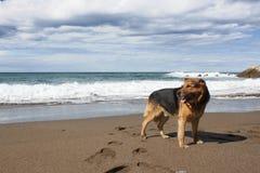 Niemiecki sheperd w plaży Zdjęcia Royalty Free