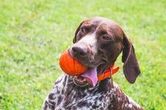 Niemiecki shorthaired pointer, niemiecki kurtshaar z czerwoną piłką w usta Portret psi zako?czenie obrazy royalty free