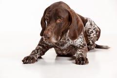 Niemiecki Shorthaired pointer - Kurzhaar szczeniaka pies odizolowywający na białym tle fotografia stock