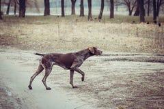 Niemiecki shorthaired pointer - myśliwego pies fotografia royalty free
