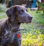 Niemiecki shorthaired pointer - myśliwego pies obrazy stock