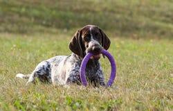 Niemiecki shorthaired pointer w usta, utrzymuje zabawkarską ciągarkę lila fotografia stock