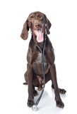Niemiecki Shorthaired pointer z stetoskopem fotografia stock